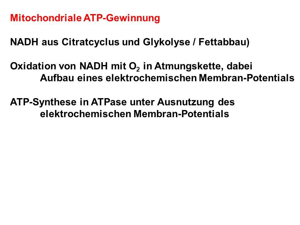 Mitochondriale ATP-Gewinnung NADH aus Citratcyclus und Glykolyse / Fettabbau) Oxidation von NADH mit O 2 in Atmungskette, dabei Aufbau eines elektrochemischen Membran-Potentials ATP-Synthese in ATPase unter Ausnutzung des elektrochemischen Membran-Potentials