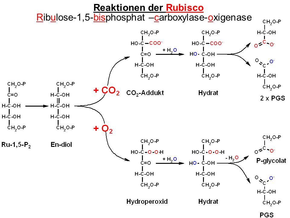 Reaktionen der Rubisco Ribulose-1,5-bisphosphat –carboxylase-oxigenase