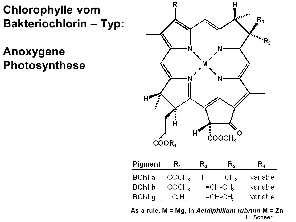 H. Scheer Chlorophylle vom Bakteriochlorin – Typ: Anoxygene Photosynthese As a rule, M = Mg, in Acidiphilium rubrum M = Zn