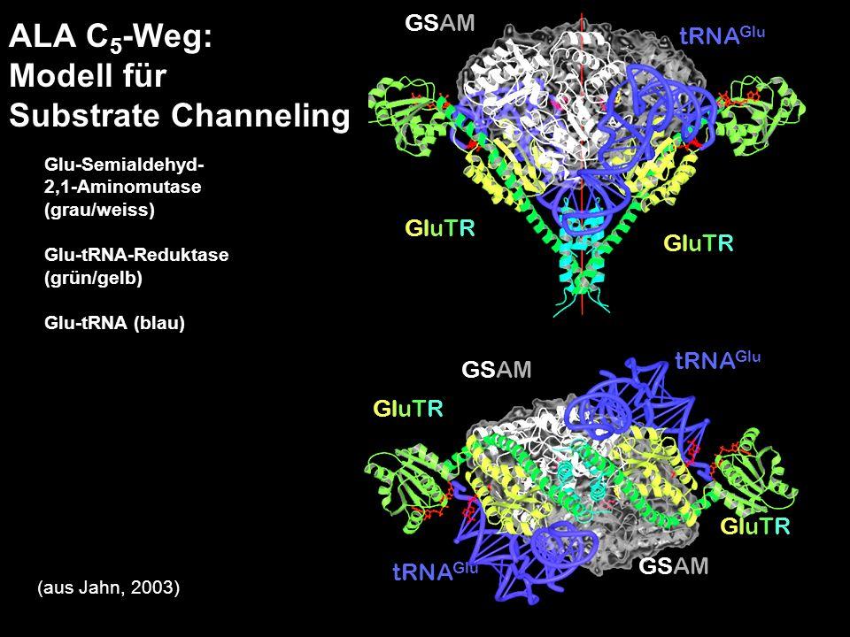 H. Scheer a b tRNA Glu GluTRGluTR GluTRGluTR GluTRGluTR GluTRGluTR GSAM ALA-Synthese (C 5 -Weg): Modell für Substrate Channeling Glu-Semialdehyd- 2,1-