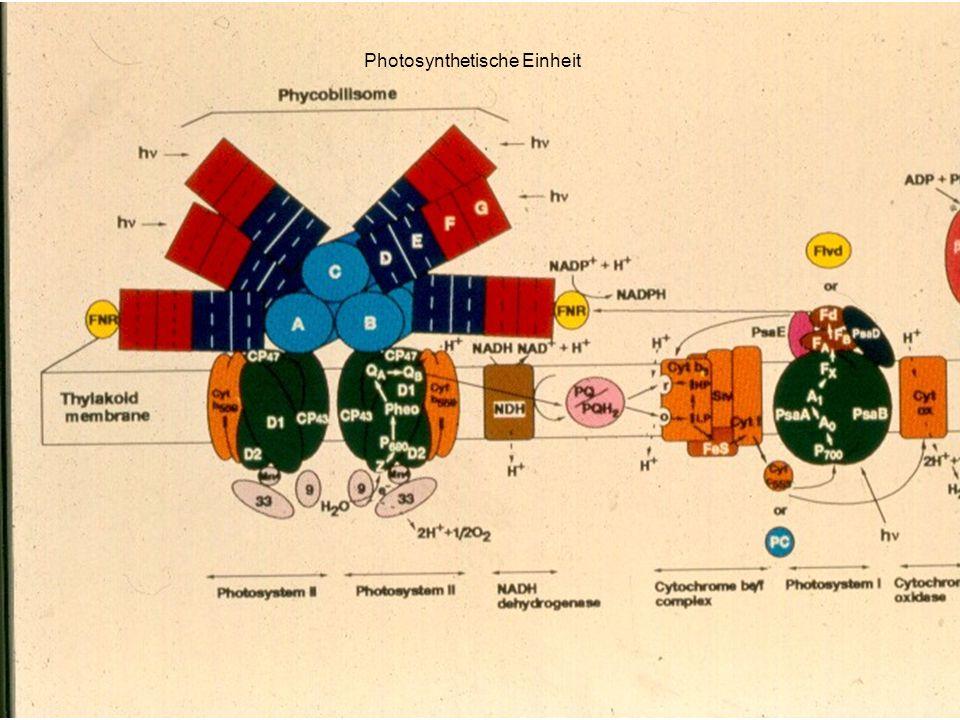 H. Scheer Photosynthetische Einheit