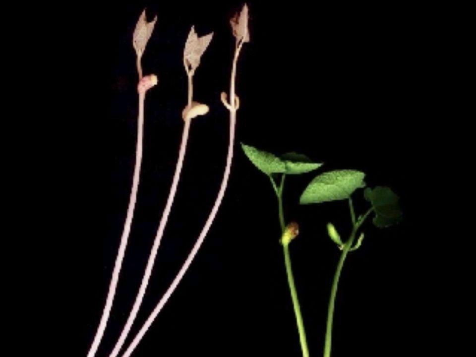 H. Scheer Phytochrom