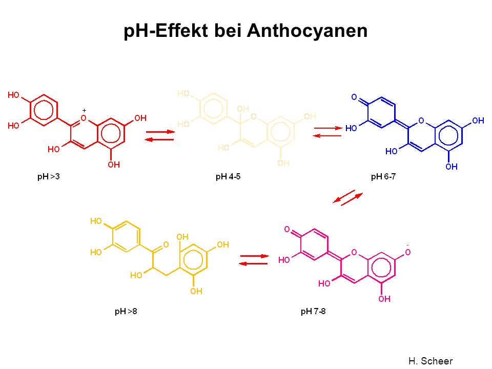 H. Scheer pH-Effekt bei Anthocyanen