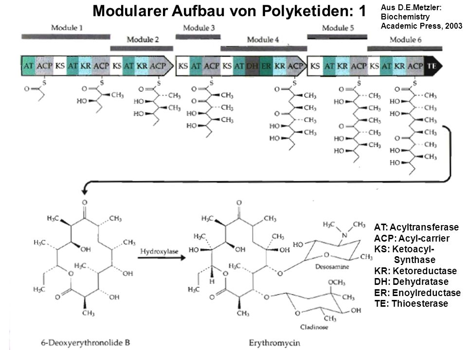 H. Scheer Modularer Aufbau von Polyketiden: 1 AT: Acyltransferase ACP: Acyl-carrier KS: Ketoacyl- Synthase KR: Ketoreductase DH: Dehydratase ER: Enoyl