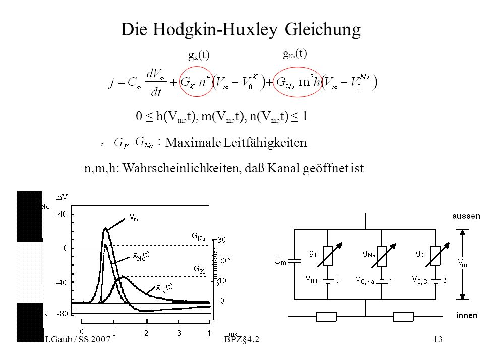 H.Gaub / SS 2007BPZ§4.213 Die Hodgkin-Huxley Gleichung 0 h(V m,t), m(V m,t), n(V m,t) 1 n,m,h: Wahrscheinlichkeiten, daß Kanal geöffnet ist, : Maximale Leitfähigkeiten g Na (t) g K (t)