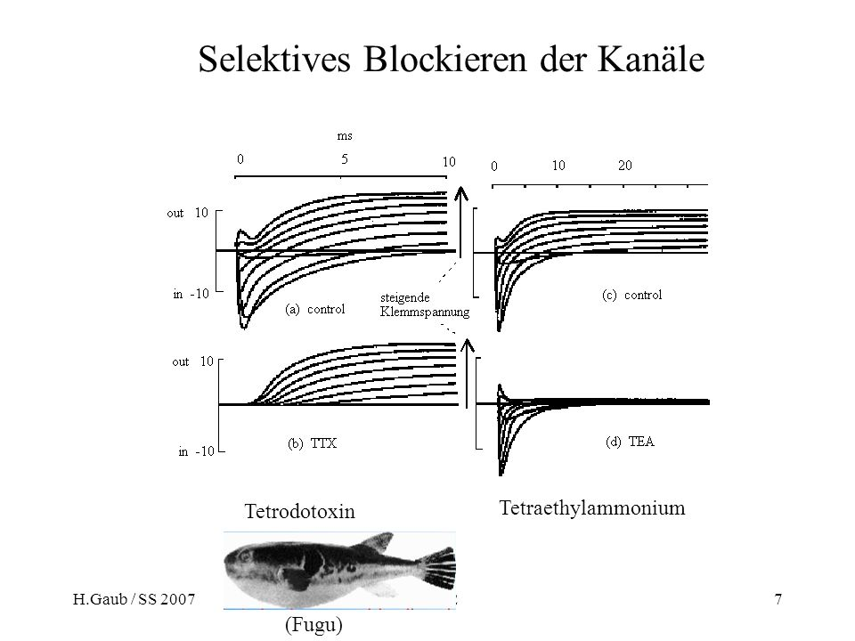H.Gaub / SS 2007BPZ§4.27 Tetrodotoxin Tetraethylammonium (Fugu) Selektives Blockieren der Kanäle