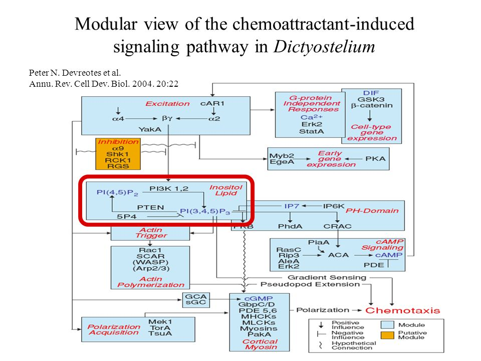 Modular view of the chemoattractant-induced signaling pathway in Dictyostelium Peter N. Devreotes et al. Annu. Rev. Cell Dev. Biol. 2004. 20:22