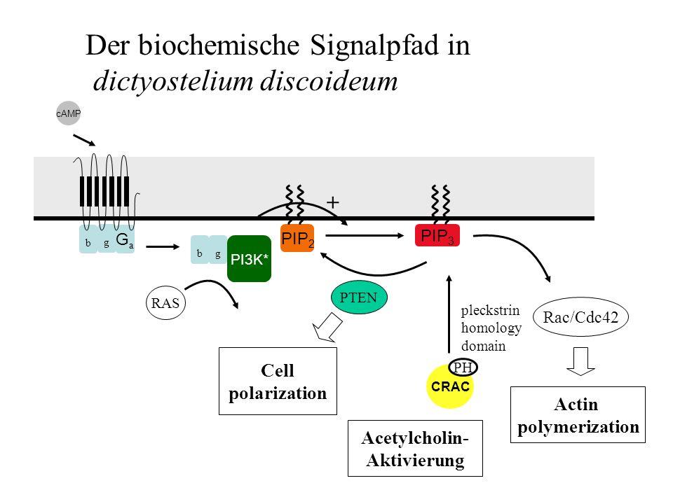 b g GaGa Der biochemische Signalpfad in dictyostelium discoideum PIP 2 PIP 3 CRAC cAMP PI3K* bg PH PTEN Rac/Cdc42 Actin polymerization RAS Cell polari