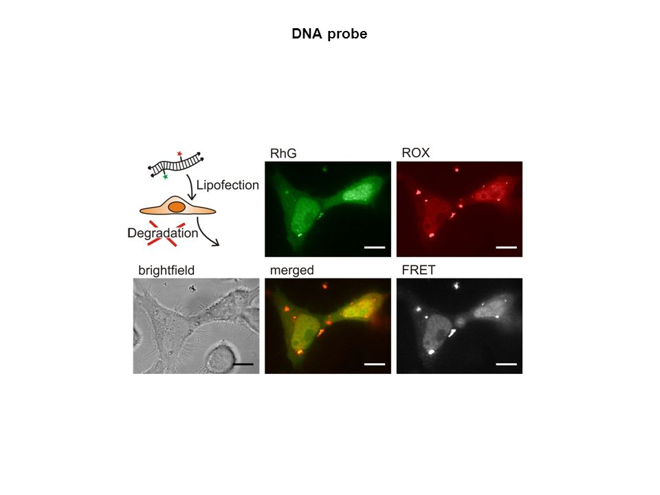 DNA probe