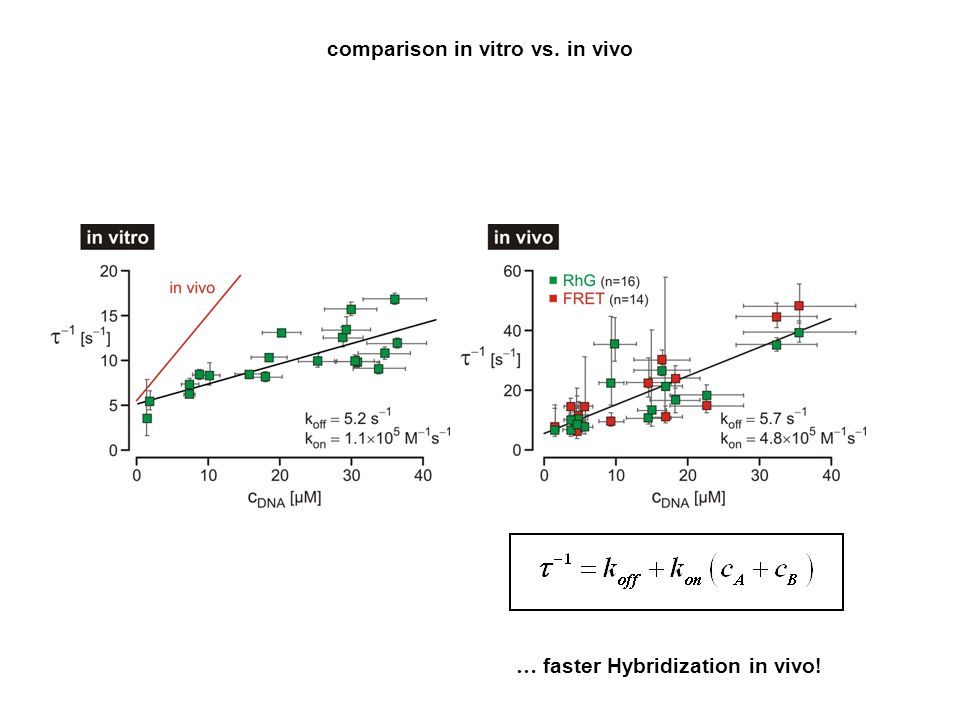 comparison in vitro vs. in vivo … faster Hybridization in vivo!