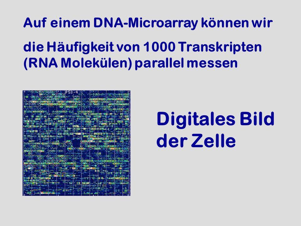 Auf einem DNA-Microarray können wir die Häufigkeit von 1000 Transkripten (RNA Molekülen) parallel messen Digitales Bild der Zelle