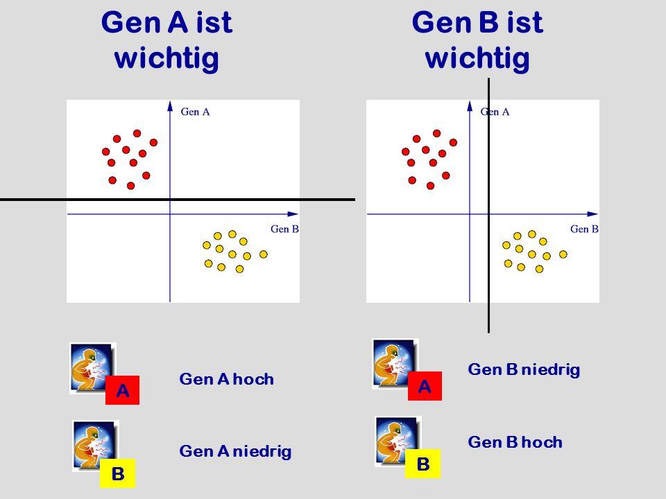 Gen A ist wichtig A B Gen B ist wichtig Gen A niedrig Gen A hoch A B Gen B niedrig Gen B hoch