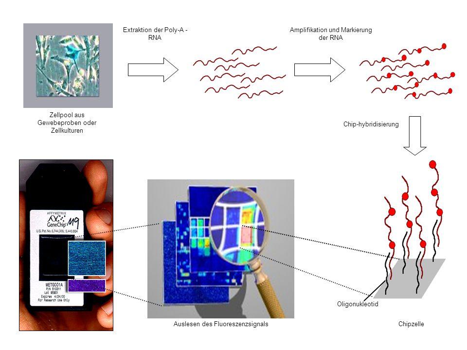 Extraktion der Poly-A - RNA Chip-hybridisierung Zellpool aus Gewebeproben oder Zellkulturen Amplifikation und Markierung der RNA Auslesen des Fluoresz