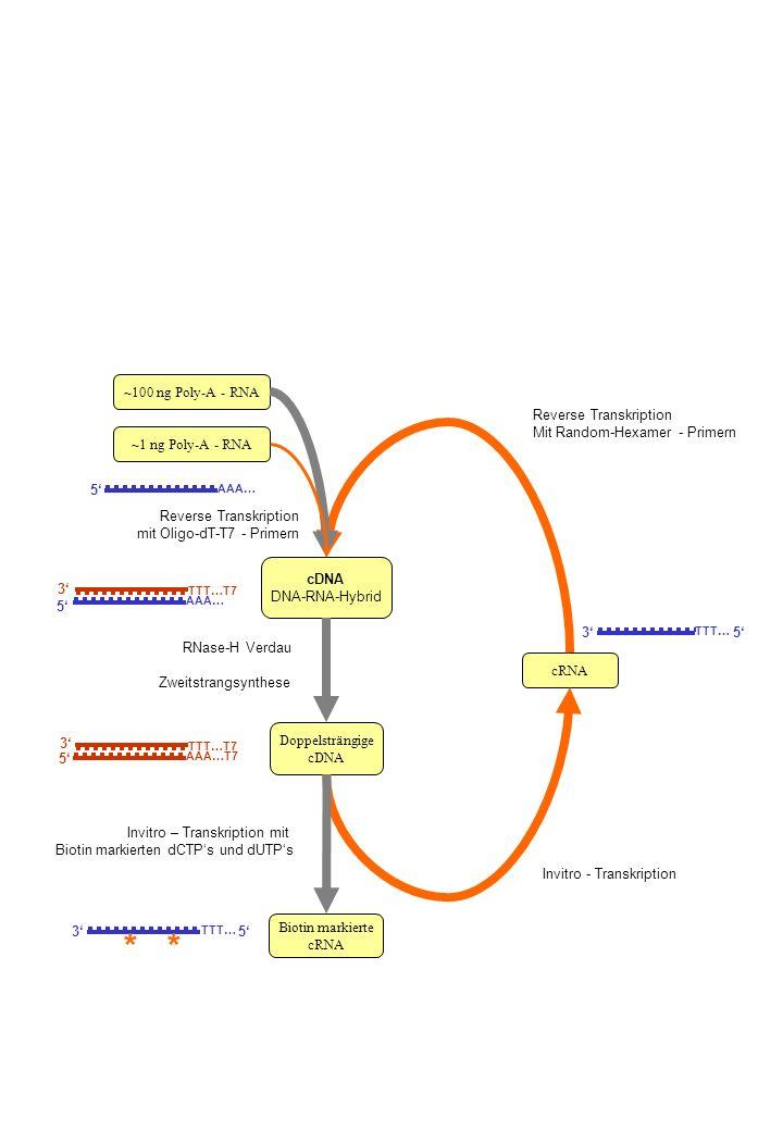 cDNA DNA-RNA-Hybrid Doppelsträngige cDNA cRNA Biotin markierte cRNA ~100 ng Poly-A - RNA RNase-H Verdau ~1 ng Poly-A - RNA Reverse Transkription mit O