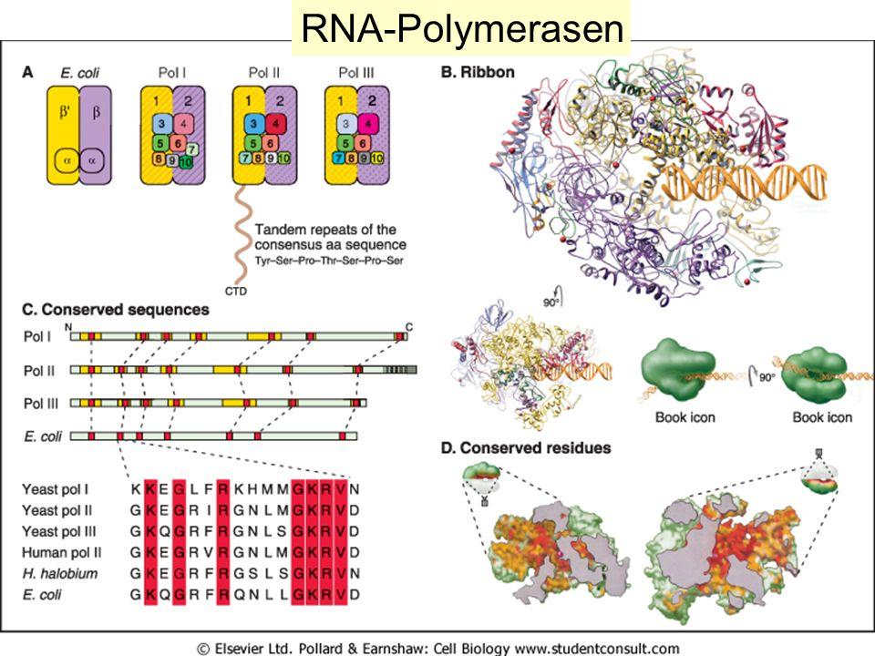RNA-Polymerasen