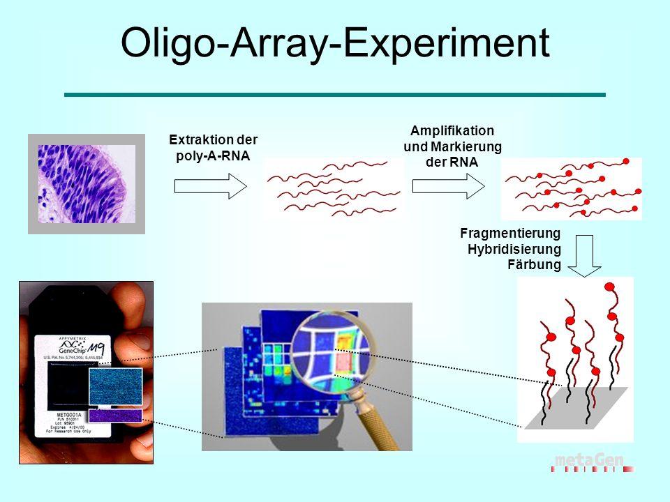 Oligo-Array-Experiment Extraktion der poly-A-RNA Fragmentierung Hybridisierung Färbung Amplifikation und Markierung der RNA