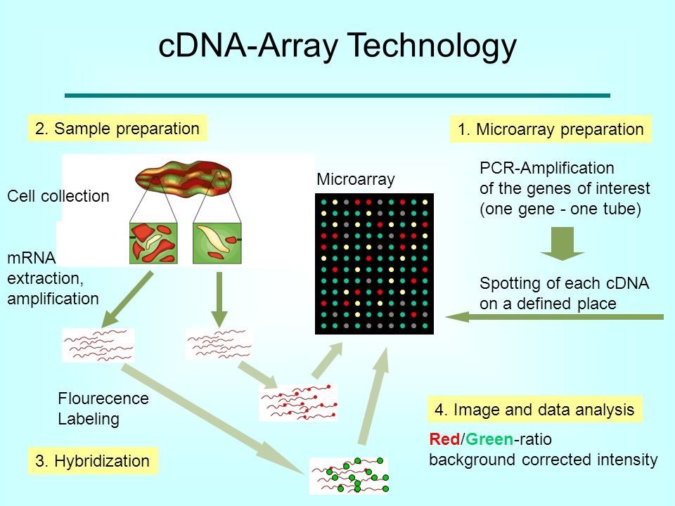 cDNA-Array Technology Microarray 1. Microarray preparation PCR-Amplification of the genes of interest (one gene - one tube) Spotting of each cDNA on a
