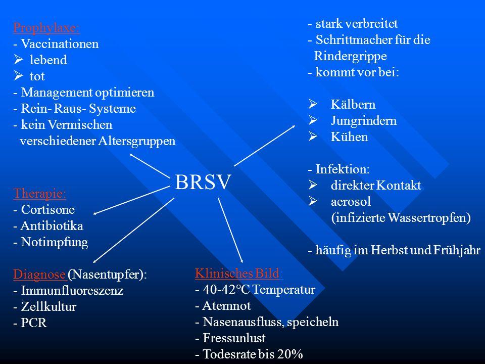 BRSV - stark verbreitet - Schrittmacher für die Rindergrippe - kommt vor bei: Kälbern Jungrindern Kühen - Infektion: direkter Kontakt aerosol (infizie