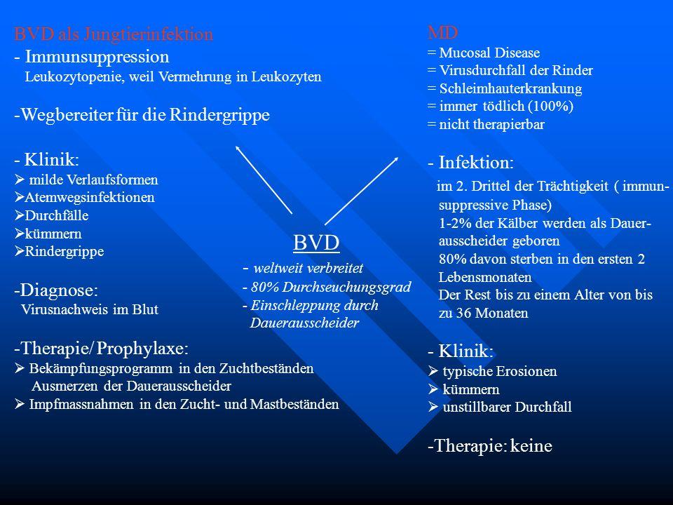 BVD - weltweit verbreitet - 80% Durchseuchungsgrad - Einschleppung durch Dauerausscheider MD = Mucosal Disease = Virusdurchfall der Rinder = Schleimha