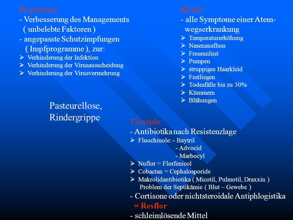 Pasteurellose, Rindergrippe Klinik: - alle Symptome einer Atem- wegserkrankung Temperaturerhöhung Nasenausfluss Fressunlust Pumpen struppiges Haarklei