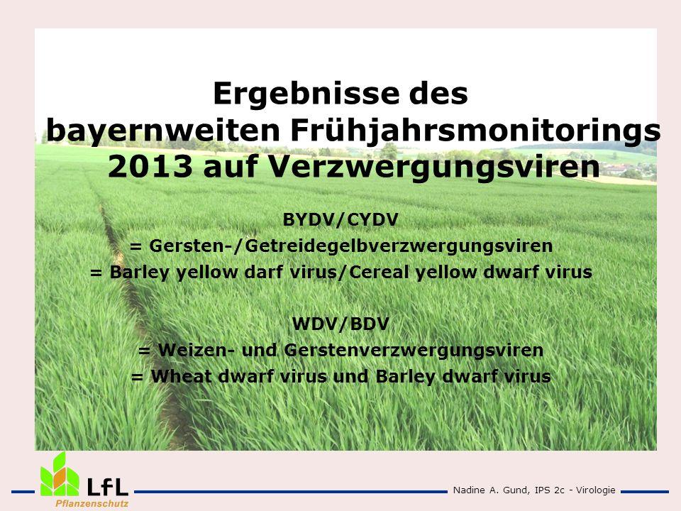 Ergebnisse des bayernweiten Frühjahrsmonitorings 2013 auf Verzwergungsviren BYDV/CYDV = Gersten-/Getreidegelbverzwergungsviren = Barley yellow darf vi