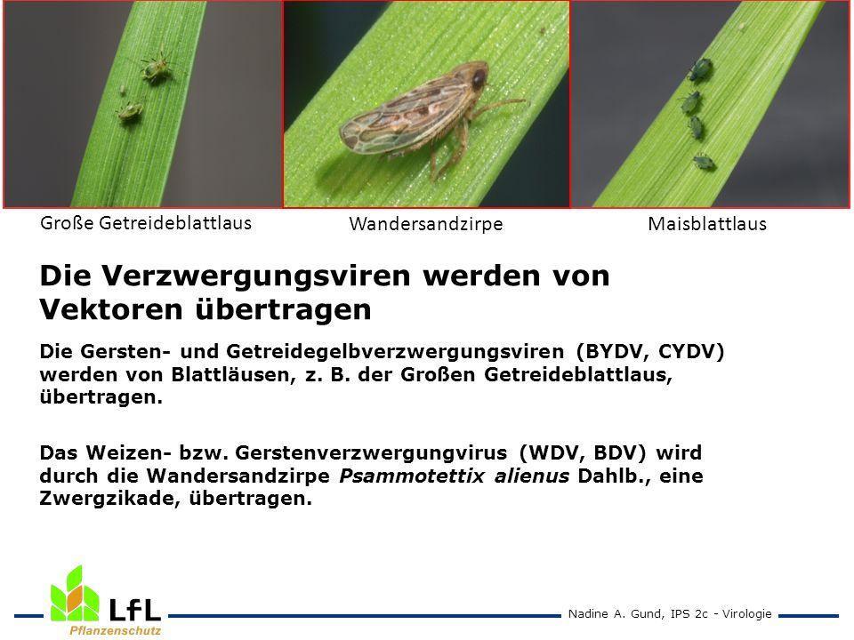 Große Getreideblattlaus WandersandzirpeMaisblattlaus Die Verzwergungsviren werden von Vektoren übertragen Die Gersten- und Getreidegelbverzwergungsvir