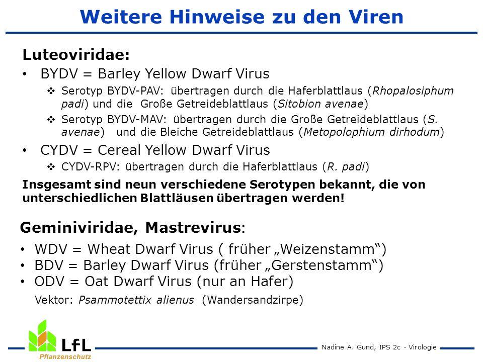 Nadine A. Gund, IPS 2c - Virologie Weitere Hinweise zu den Viren BYDV = Barley Yellow Dwarf Virus Serotyp BYDV-PAV: übertragen durch die Haferblattlau