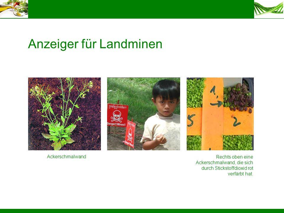 Anzeiger für Landminen Ackerschmalwand Rechts oben eine Ackerschmalwand, die sich durch Stickstoffdioxid rot verfärbt hat.