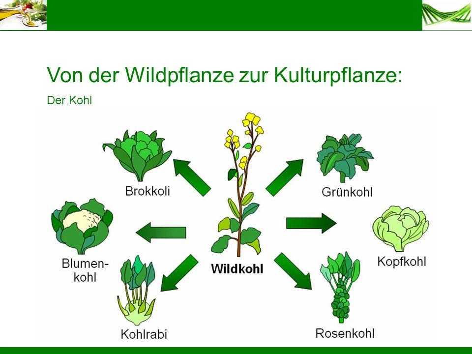 Von der Wildpflanze zur Kulturpflanze: Der Kohl