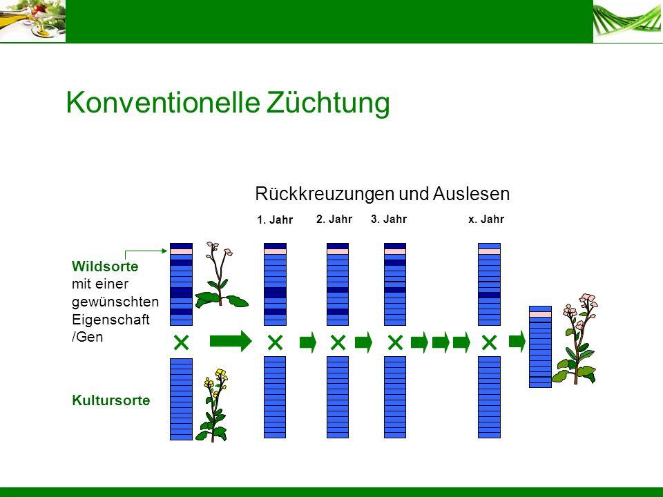 Konventionelle Züchtung Rückkreuzungen und Auslesen 1. Jahr 2. Jahr 3. Jahr x. Jahr Wildsorte mit einer gewünschten Eigenschaft /Gen Kultursorte