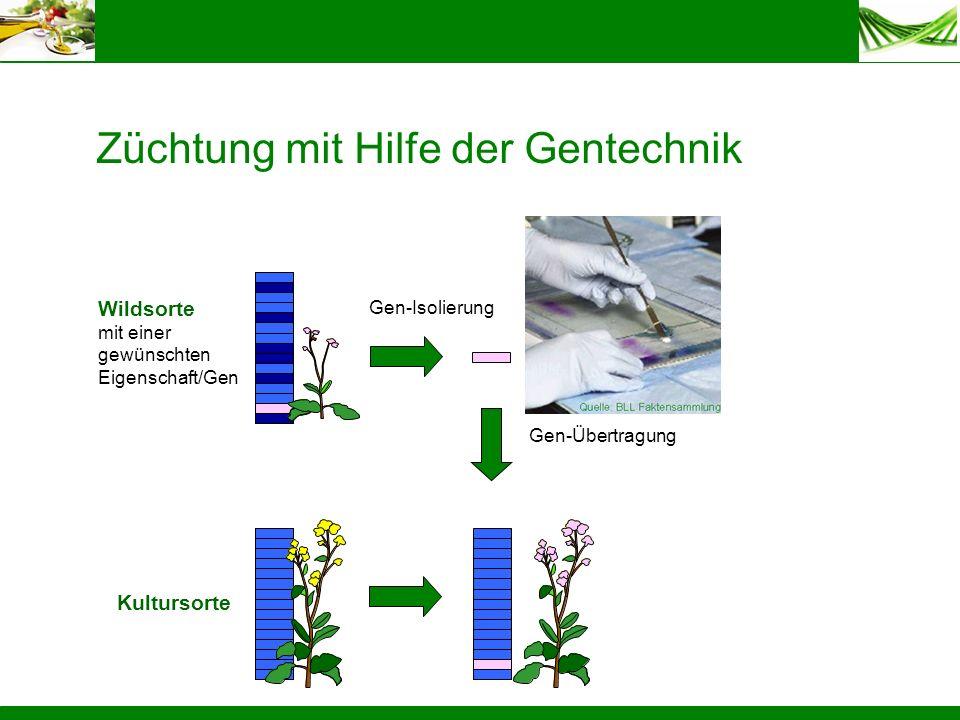 Züchtung mit Hilfe der Gentechnik Gen-Übertragung Kultursorte Wildsorte mit einer gewünschten Eigenschaft/Gen Gen-Isolierung