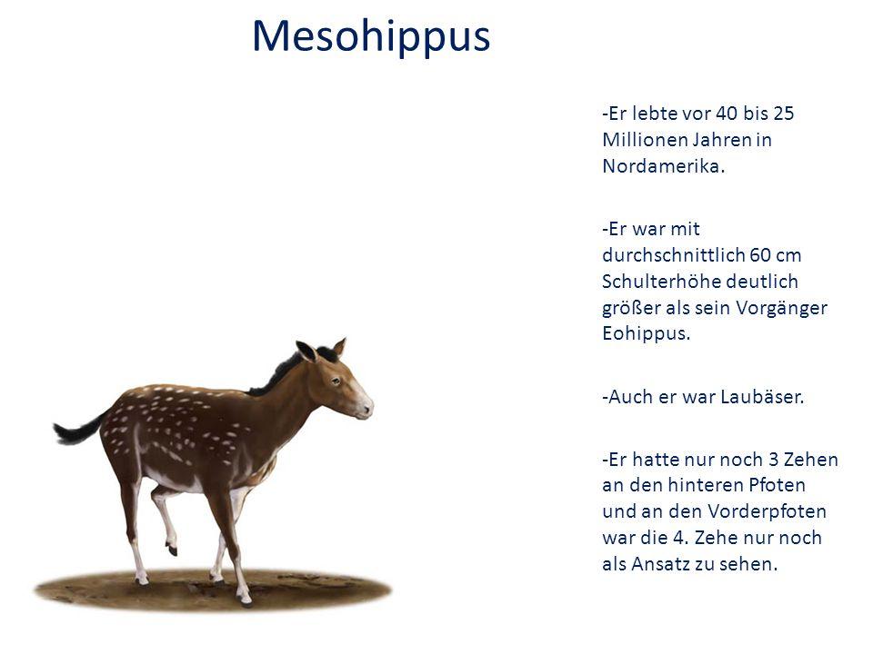 -Er lebte vor 40 bis 25 Millionen Jahren in Nordamerika. -Er war mit durchschnittlich 60 cm Schulterhöhe deutlich größer als sein Vorgänger Eohippus.