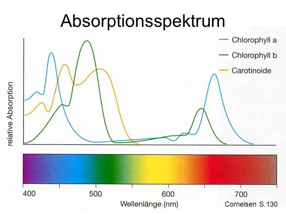 Chloroplasten im Laubblatt