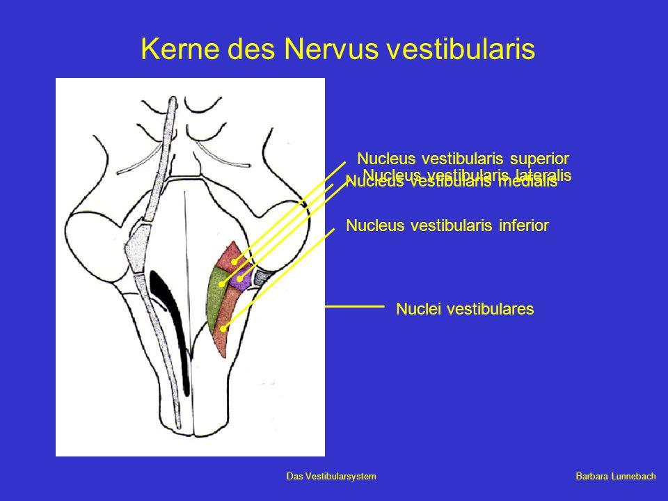 Barbara LunnebachDas Vestibularsystem Kerne des Nervus vestibularis Nuclei vestibulares Nucleus vestibularis superior Nucleus vestibularis inferior Nu