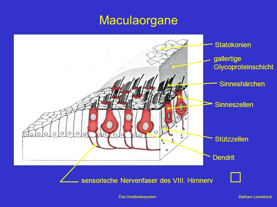 Barbara LunnebachDas Vestibularsystem Maculaorgane Sinneszellen Stützzellen sensorische Nervenfaser des VIII. Hirnnerv Dendrit Sinneshärchen gallertig
