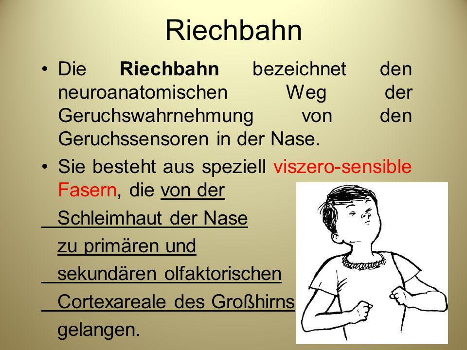 Riechbahn Die Riechbahn bezeichnet den neuroanatomischen Weg der Geruchswahrnehmung von den Geruchssensoren in der Nase. Sie besteht aus speziell visz
