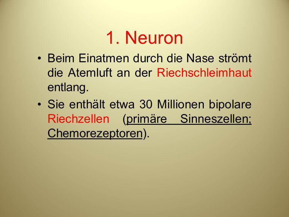 1. Neuron Beim Einatmen durch die Nase strömt die Atemluft an der Riechschleimhaut entlang. Sie enthält etwa 30 Millionen bipolare Riechzellen (primär
