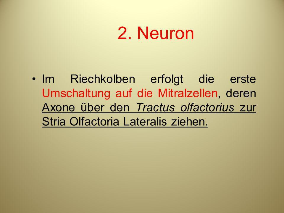 2. Neuron Im Riechkolben erfolgt die erste Umschaltung auf die Mitralzellen, deren Axone über den Tractus olfactorius zur Stria Olfactoria Lateralis z