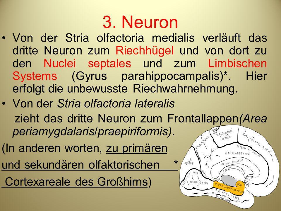 3. Neuron Von der Stria olfactoria medialis verläuft das dritte Neuron zum Riechhügel und von dort zu den Nuclei septales und zum Limbischen Systems (