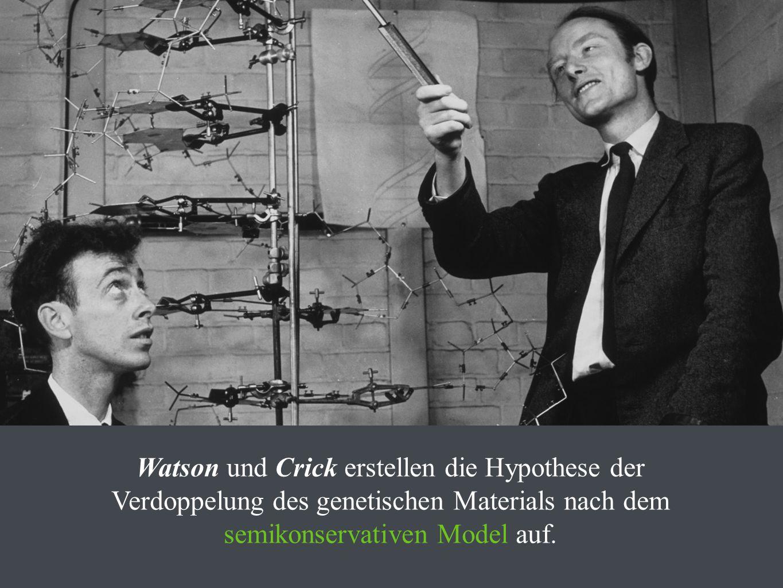 Watson und Crick erstellen die Hypothese der Verdoppelung des genetischen Materials nach dem semikonservativen Model auf.