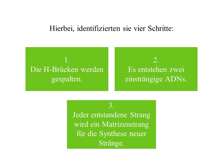 Hierbei, identifizierten sie vier Schritte: 1. Die H-Brücken werden gespalten. 2. Es entstehen zwei einsträngige ADNs. 3. Jeder entstandene Strang wir