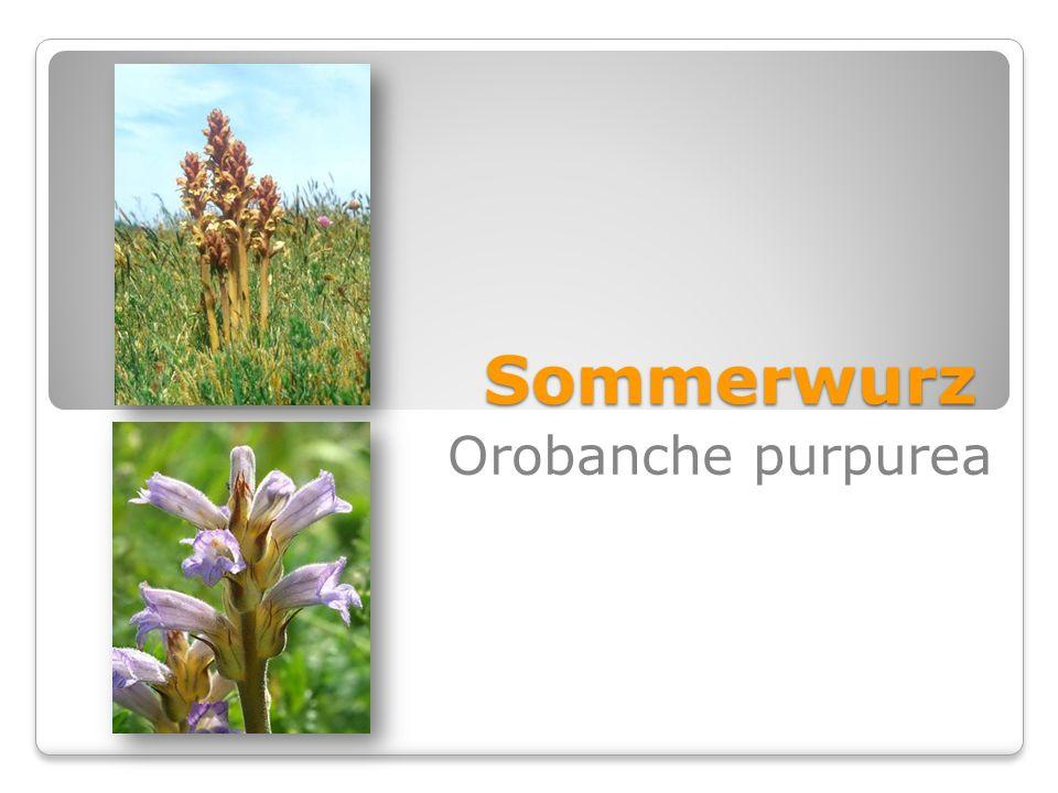 Sommerwurz Orobanche purpurea