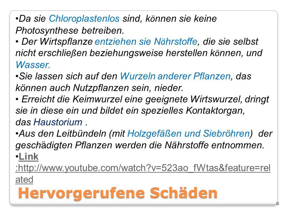 Sie sind Parasiten, also muss man sie bekämpfen: Herbizide (Pflanzenschutzmittel zur Unkraut und –Ungräser bekämpfung) Ideal wäre es, wenn man diesem Parasiten mit Hilfe eines anderen Parasiten beikommen könnte, meint Joachim Sauerborn, Agrarökologe an der Uni Hohenheim.
