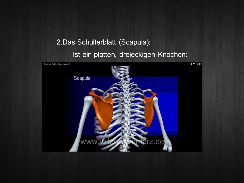 2.Das Schulterblatt (Scapula): -Ist ein platten, dreieckigen Knochen: