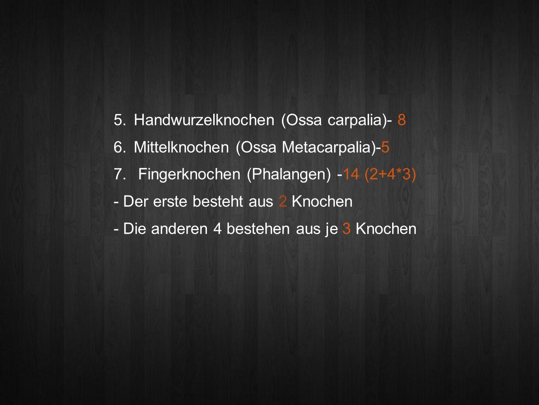 5.Handwurzelknochen (Ossa carpalia)- 8 6. Mittelknochen (Ossa Metacarpalia)-5 7.