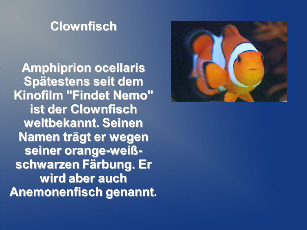 Clownfisch Amphiprion ocellaris Spätestens seit dem Kinofilm
