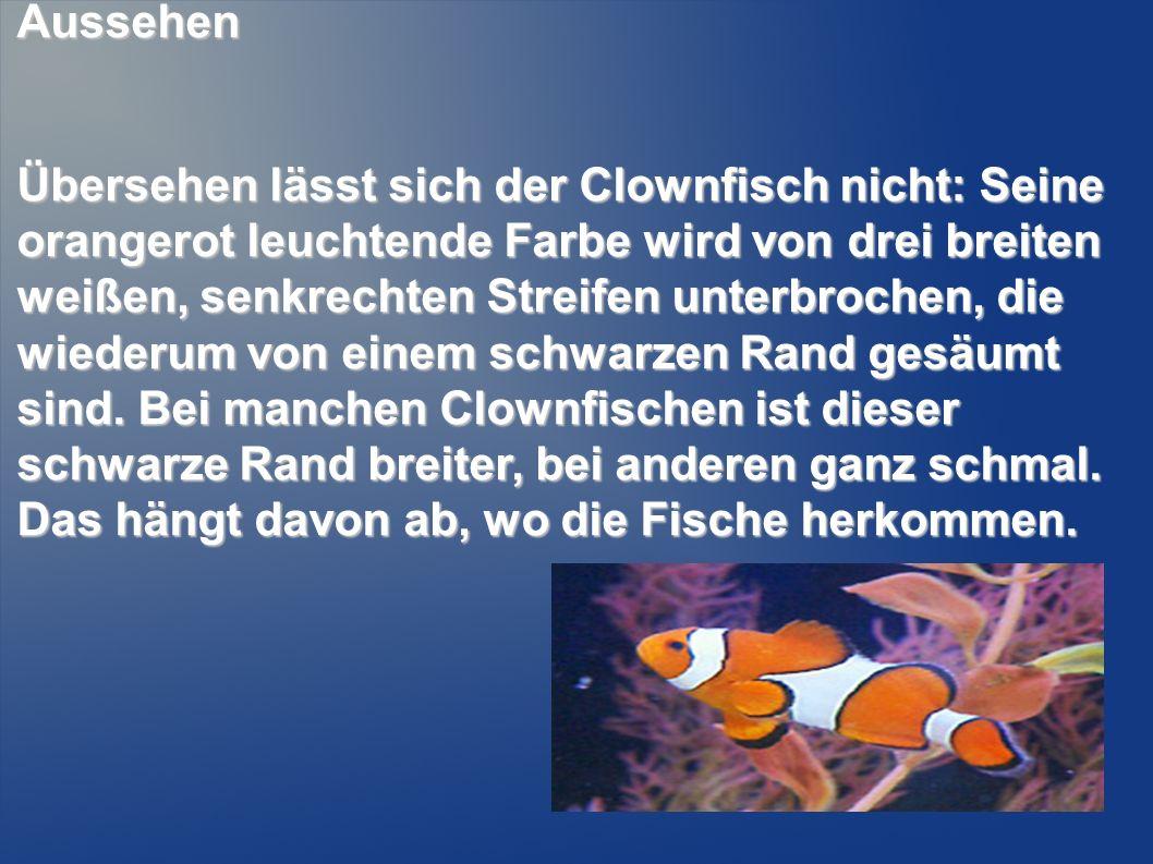 Aussehen Übersehen lässt sich der Clownfisch nicht: Seine orangerot leuchtende Farbe wird von drei breiten weißen, senkrechten Streifen unterbrochen,