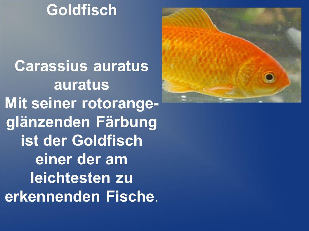 Goldfisch Carassius auratus auratus Mit seiner rotorange- glänzenden Färbung ist der Goldfisch einer der am leichtesten zu erkennenden Fische.