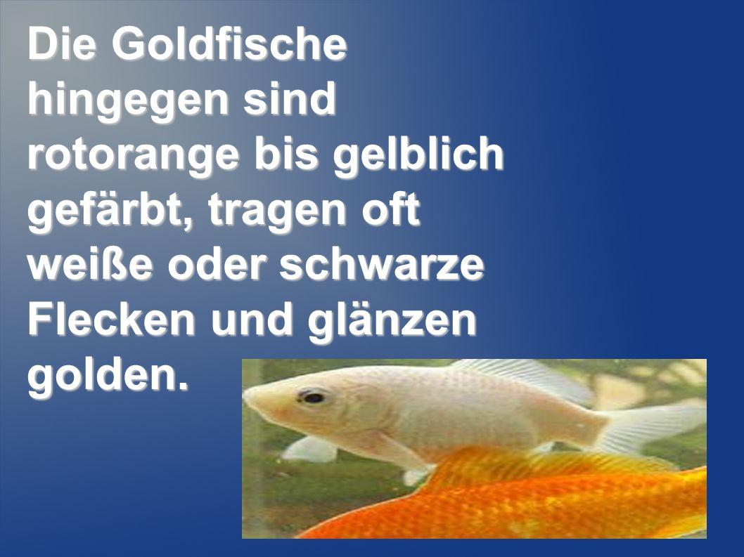 Die Goldfische hingegen sind rotorange bis gelblich gefärbt, tragen oft weiße oder schwarze Flecken und glänzen golden.