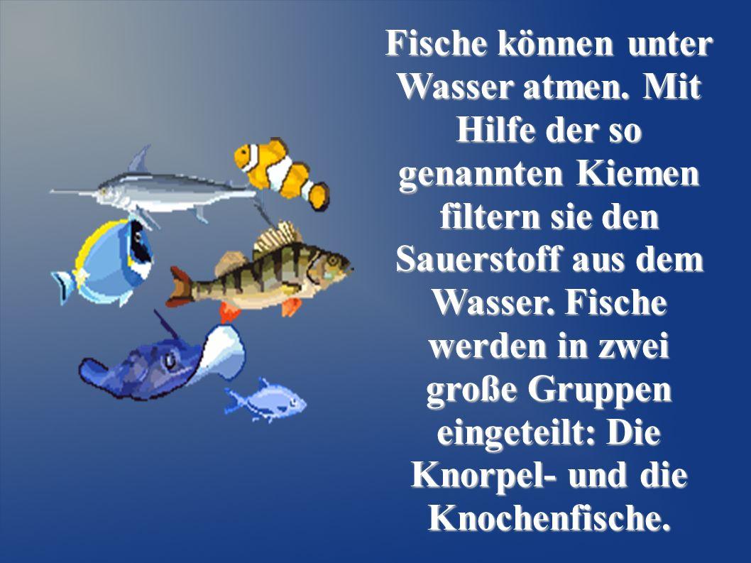Fische können unter Wasser atmen. Mit Hilfe der so genannten Kiemen filtern sie den Sauerstoff aus dem Wasser. Fische werden in zwei große Gruppen ein